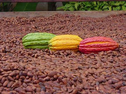 Beans grown on Plantation